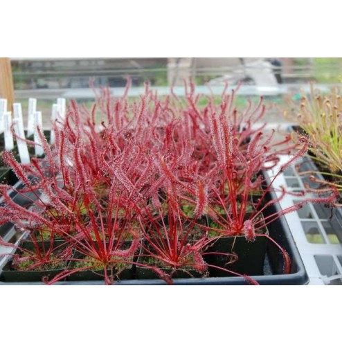 "Drosera capensis ""All Red Form"" 